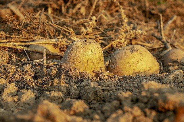 nawóz pod ziemniaki